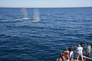 Blue Whale Perth Canyon Expedition - Victoria Tourism