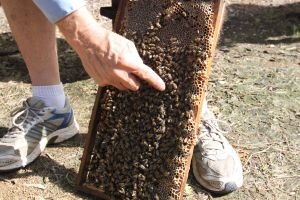 Bees on Keswick Island - Victoria Tourism