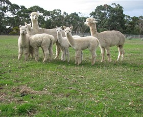 Blackgate Lodge Alpaca Stud - Victoria Tourism